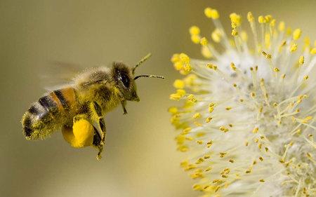 polline ape1